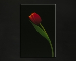 Photography_Tulip.jpg